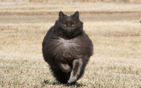 Sygmond-The-Grey-Majestic-Cat1
